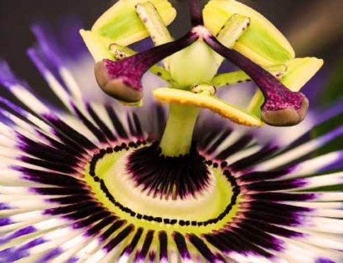 10 plantes adaptogènes pour faire face au stress chronique